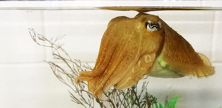 6cuttlefishintankcreditalexschnell.jpg